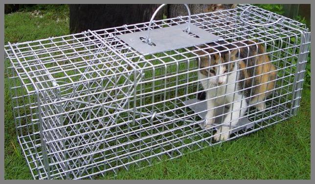 Cat in humane trap