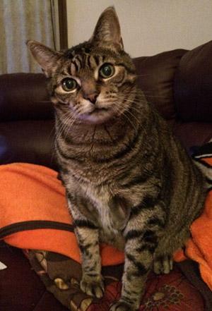 Sabre - Tabby cat looking at camera